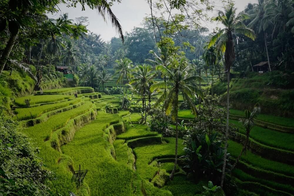 rice field Ubud bali