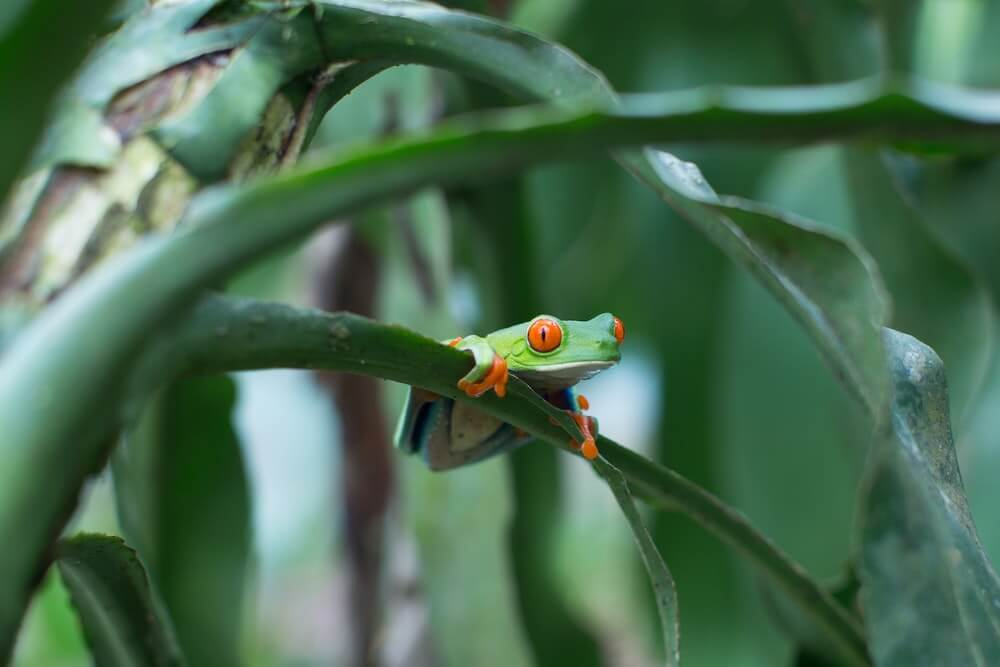 Green frog with red eyes
